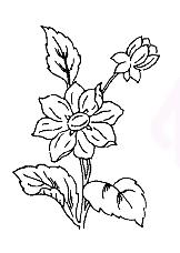 Smoke-flower
