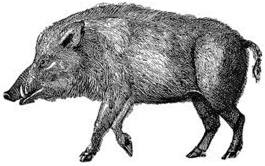 Fen boars