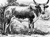 Cattle of Near-Harad