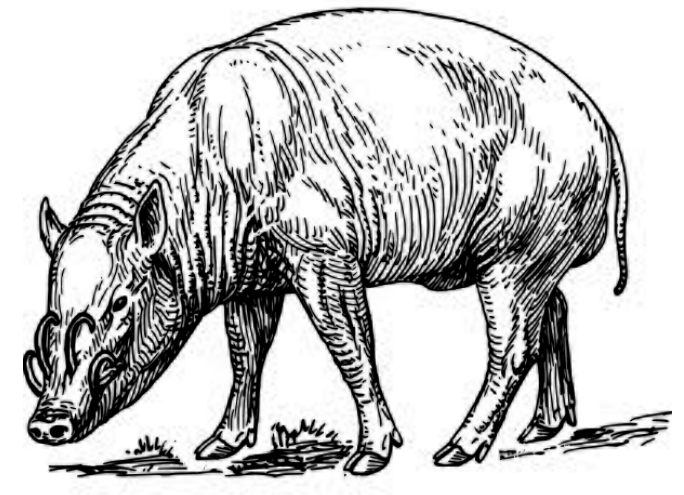 Red boars