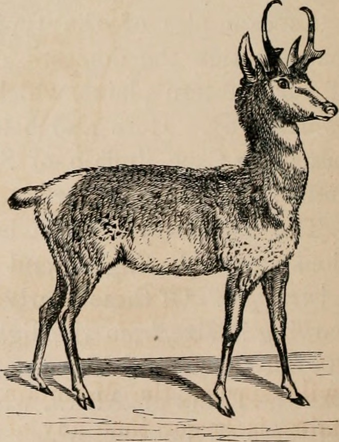 Giant Pronghorn