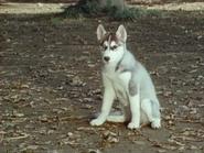 SRED47-Oldgentlemanintophat(dog form)