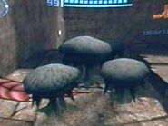 Grupo de gorros vipéreos en las ruinas chozo