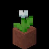 Eingetopfte weiße Tulpe.png
