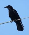 Crow.jpeg