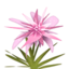 Pink Maguey