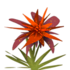 Orange Maguey.png