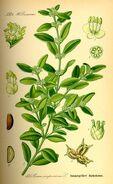 Buchsbaum Buxus Sempervirens, Thome Flora