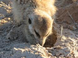 Rattler foraging.jpg.jpg
