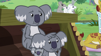 Koalas agreeing to Fluttershy's compromise S9E18