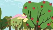 S02E15 Fluttershy strząsa jabłka