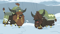 Yaks dig through the snow even harder S7E11