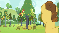 Grand Pear watching his family pick pears S7E13