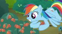 Rainbow Dash picking red berries S7E16