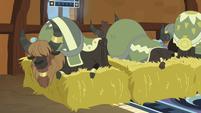 Yaks sleeping on beds of hay S7E11