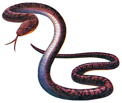 Infected Adder