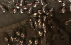Infected Leech