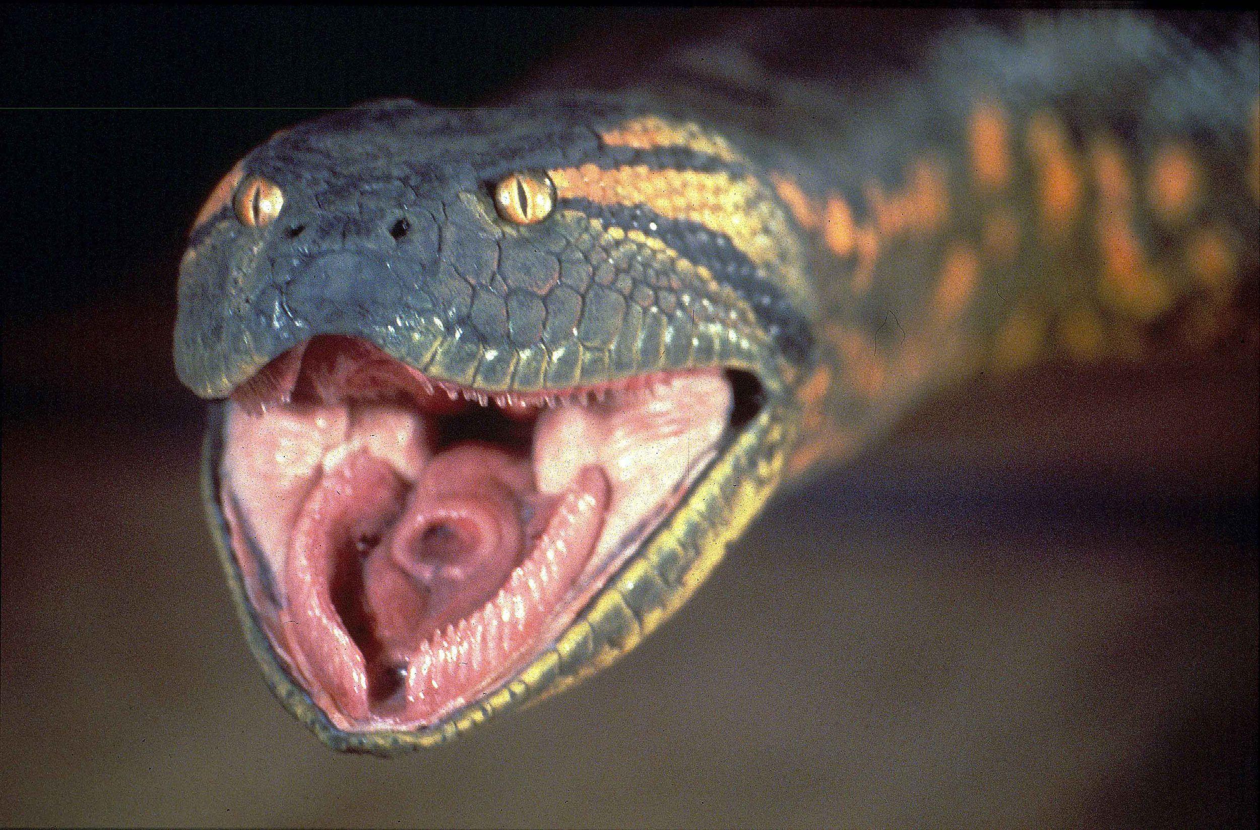 Giant Anaconda
