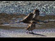 Miraheze-Sparrows semana 22b.jpg
