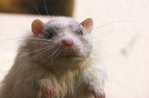 Hubert as Rat