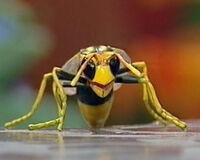 Winnie the Wasp