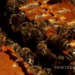 HoneyBeeSong.png