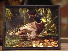 2079-Duck