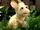 Lassie (goat)