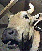 Dolittle cow