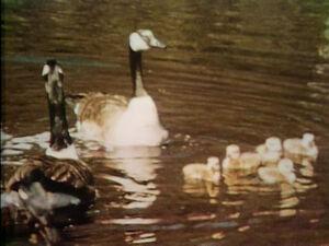 Film-Geese.jpg