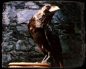 Moses (raven)