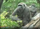 Gorilla Gulps