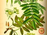 Weissblütenbaum