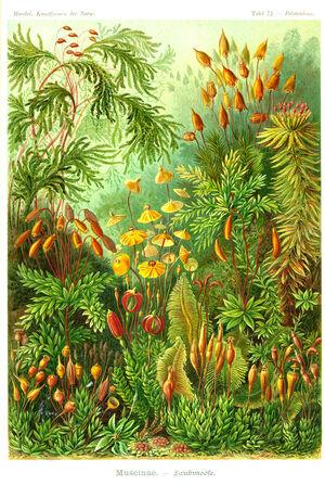 Haeckel-275-Tafel 072 300.jpg