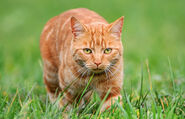 258885-1600x1030-classic-ginger-tabby