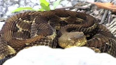 7 Timber Rattlesnakes..