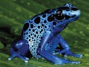 Plue Poison Dart Frog