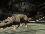 Canal Rat