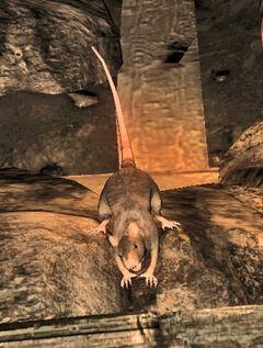 Pit rat.jpg
