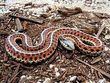 240px-Coast Garter Snake.jpg