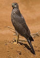 Melierax poliopterus -Amboseli National Park, Kenya -juvenile-8.jpg