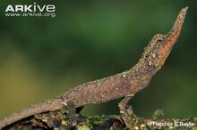 Male-rough-nose-horned-lizard.jpg