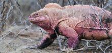 Pink-land-iguana 2.jpg