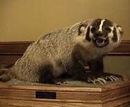 A stuffed badger is dropped in Maddison, Montana