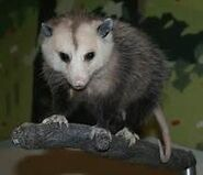 A stuffed possum is dropped in Sycamore, Pennsylvania