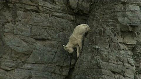 Rock-Climbing Goats