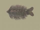 Fur Carp