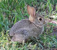 250px-Rabbit in montana