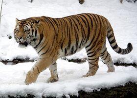 Сибирский тигр.jpeg