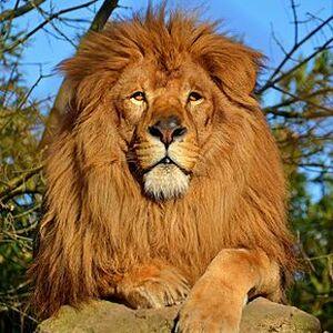 FA-Lion.jpg